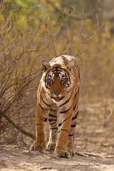 1601 Day 8 Tigers (brads-photography) Tags: headon india male nationalpark pantheratigristigris rajasthan ranthambore royalbengaltiger sawaimadhopur starmale t28 tiger tigerreserve walking wildlife
