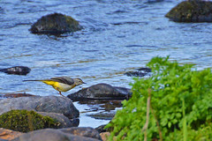 conwy grey wagtail 2 (Lord Edam) Tags: river afon llugwy conwy wildlife morning water rocks fields birds grey wagtail