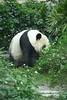 動物園_358 (Taiwan's Riccardo) Tags: 2014 taiwan digital color dslr nikond600 nikonlens afs nikkor zoom 18200mmf3556 vr 台北市 木柵 動物園 熊貓 panda 團團