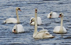 Six Mute Swans - Woodhorn Lake (Gilli8888) Tags: birds water waterbirds waterfowl countryside nature swans muteswans flotilla countrypark queenelizabethiicountrypark six