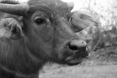 Inquisitive Buffalo 4 (Bob Hawley) Tags: nikond7100 nikon2870mmf3545afd asia pingtung taiwan outdoors xuhai animals bubalusbubalis domestic farming agriculture blackandwhite monochrome closeup faces