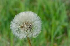 spring (inma F) Tags: lajaraca flor dandelion macro delicate spring primavera white dientedeleón flower soft country