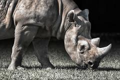 Black Rhino (Andrew_Leggett) Tags: blackrhino dicerosbicornis rhinoceros mammal animal beauty magnificent megafauna lightandshade grazing yorkshirewildlifepark andrewleggett