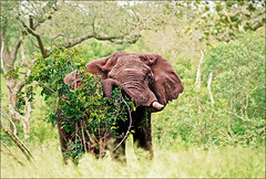 Kruger, March 2017 -  Bush elephant (Katarina 2353) Tags: kruger katarina2353 katarinastefanovic southafrica elephant bush summer