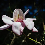 Campbell's Magnolia