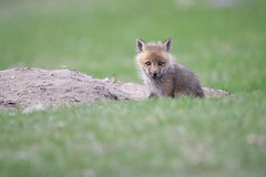 A little adventure (jrlarson67) Tags: red fox kit furry animal adorable wild wildlife nikon d500 afsnikkor600mmf4gedvr