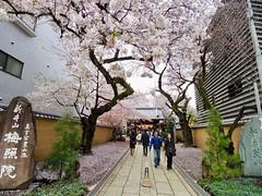 IMGP5736 (digitalbear) Tags: pentax q7 08widezoom 17528mm f374 nakano doori sakura cherry blossom blooming full bloom tokyo japan araiyakushi arai yakushi baishoin