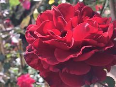 redflower civanoplantnursery tucson arizona flower red... (Photo: Chic Bee on Flickr)