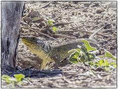 LAGARTO OCELADO (BLAMANTI) Tags: lagartos lagarto ocelado prehidtorico verde reptiles