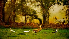 In Need of Peace (Marie.L.Manzor) Tags: landscape nature backlight peaceful nikon nikkor sunrise bokeh goose goldenlight scene colors marielmanzor fairytale pastural