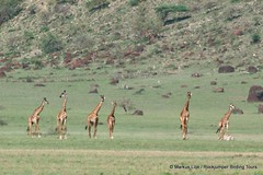 Giraffe distotion Oldupai (markus lilje) Tags: markuslilje tanzania mammal animal saugertiere tiere giraffe masaaigiraffe giraffacamelopardalistippelskirchi giraffacamelopardalis