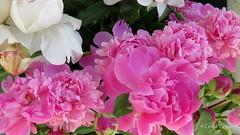 ❀ ❀ ❀ ❀ (✿ Graça Vargas ✿) Tags: graçavargas ©2017graçavargasallrightsreserved pink flower 18106140517
