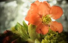 ...Spring orange... (carbumba) Tags: flower petals bush plant ornage green closeup nikon nature