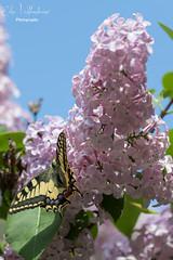 Spring (Elisa Valdambrini photography) Tags: 2017 7dmkii ape butterfly canon canon70200 eos farfalla fiori flower lilla natura nature sole sun