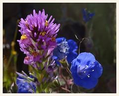 Owl Clover and Blue Bells (gauchocat) Tags: tohonochulpark tucsonarizona