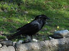 Hellabrunn (deuxcvsix) Tags: tierchen frühling hellabrunn vogel crow krähe rabenvogel