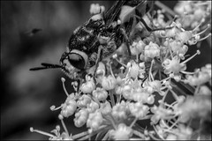 DRD160807_0027 (dmitry_ryzhkov) Tags: sun sunlight sunshine sunday sunny shadow shine shadows light lights flash arthropoda fly flies dipteraflower flowers flora grass plant plants botany leaf leaves summer blackandwhite bw monochrome black white bnw blacknwhite blackwhite russia moscow art europe live photo photography shot sony alpha wild wildlife life moment shots nature naturephoto naturephotography natureshot photograph close closeup closeupshot macro macrophoto macrophotos macrophotography macroshot small micro little entomology entomologist biologist biology zoology fauna enviropment outdoor outdoors bug bugs