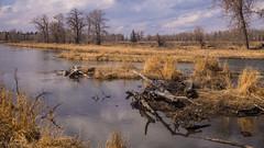April Alberta (kensparksphoto) Tags: bowriver calgary reflection canada alberta april sky dramatic trees