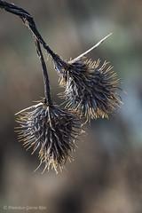 Naturaleza basta y espartana. / Spartan and rough Nature. (Recesvintus) Tags: weeds hierbas vegetal nature closeup primerplano macro recesvintus horna albacete spain españa tamronadaptallsp90mmf25macro52b