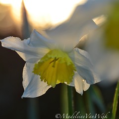 Daffodil in sunrise (MadeleineVanWijkPhotography) Tags: sunrise daffodil yellow flowers