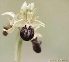 """""""Ophrys"""" (favmark1) Tags: 2017 365 365challenge ophrys earlyspiderorchid orchid day110 ophryssphegodes wildorchids britishorchids kentorchids kent"""