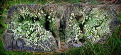 Pixie Cup Lichen (Pitheadgear) Tags: nature lancashire fungi lichen bacteria lichens bridgewatercanal symbiosis boothstown pixiecuplichen