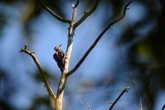 Pileated Woodpecker (Vegan Butterfly) Tags: tree bird animal woodpecker edmonton branches ravine pileated whitemud