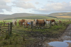 Cows gathered at the gate waiting for something (Rob Lightbody) Tags: puddle gate cattle cows calf calves