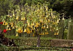 Trumpet Tree (pxl350) Tags: flower tree nature yellow angel spain huelva trumpet bloom brugmansia rabia