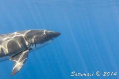Great White Sharks of Isla Guadalupe-30_Shark#3.jpg (Satumasi) Tags: vacation fall mexico northamerica greatwhiteshark underwaterphotography nikon1aw1 1nikkoraw10mmf28