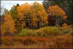Golden Aspens (edenseekr) Tags: autumnfoliage yellow golden countryside fields aspen meadowland