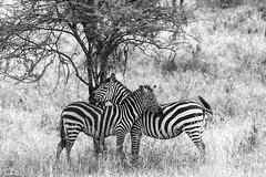 Zebras Shading (jnhPhoto) Tags: africa wild bw tanzania nikon wildlife adventure safari zebra serengeti d800 jnhphoto afs80400vrll