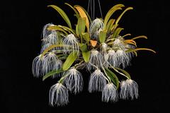 Bulbophyllum medusae (hawaiiansunshine) Tags: bulbophyllum medusae