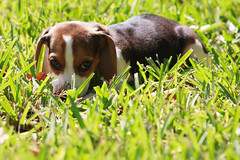 Hide and Seek (treyperry) Tags: dog cute beagle puppy daisy