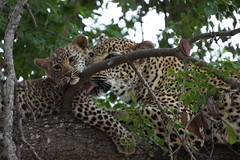 Motherly love (notFlunky) Tags: africa park holiday dark cub south lion mother safari national leopard sabi sands continent kruger