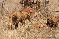 DSC_3873 (Arno Meintjes Wildlife) Tags: africa southafrica feeding wildlife lion safari bigcat cubs predator big5 pantheraleo arnomeintjes