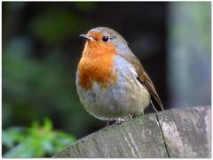 Robin (eric robb niven) Tags: nature robin scotland dundee wildlife dunkeld wildbird lochofthelowes ericrobbniven lumixfz72