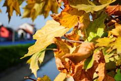 Požutjelo lišće (Yellow Foliage)