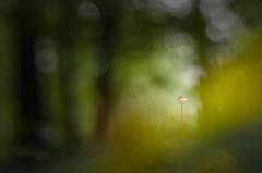 Apparition fongique (Thomas Vanderheyden) Tags: light macro mushroom flora lumière ngc lumiere champignon vegetal flore picardie oise naturesfinest beautifulearth proxi thomasvanderheyden tomtomphotography picartnature