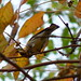 Yellow-rumped Warbler eating poison ivy berries