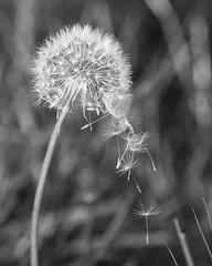 Falling (Squatbetty) Tags: autumn bw nikon dandelion bingley dandelionclock myrtlepark nikond3000