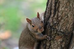 This Tree Is My Friend (niXerKG) Tags: nikon squirrels nikkor dslr fx d3 70200mm 70200mmvr 12mp nikond3