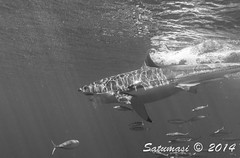 Great White Sharks of Isla Guadalupe-74.jpg (Satumasi) Tags: vacation fall mexico northamerica greatwhiteshark underwaterphotography nikon1aw1 1nikkoraw10mmf28