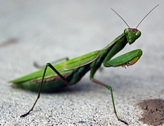 Praying Mantis (TomIrwinDigital) Tags: ontario burlington mantis insect prayingmantis