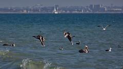 Brown Pelicans (B), plunging together, Santa Monica Bay CA CQ4A1596 (Hart Walter) Tags: brownpelican malibulagoon marbledgodwit earedgrebe santamonicabay pelicanfeedingfrenzy