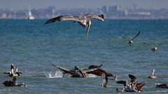 Brown Pelican (A), diving, Santa Monica Bay CA CQ4A1600 (Hart Walter) Tags: brownpelican malibulagoon marbledgodwit earedgrebe santamonicabay pelicanfeedingfrenzy