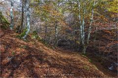 Alfombra de hojas. (PITUSA 2) Tags: naturaleza paisaje otoo len sendero castillaylen hayedo argovejo riochn pitusa2 elsabustomagdalena