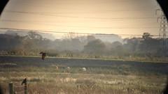 Marsh Harrier (circus aeruginosus) (mrm27) Tags: circus cambridgeshire harrier burwell circusaeruginosus marshharrier burwellfen