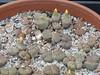 DSCF1476 (BobTravels) Tags: plant stone bob lithops lithop messem bobwitney