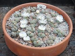 DSCF0413 (BobTravels) Tags: plant stone bob lithops lithop messem bobwitney
